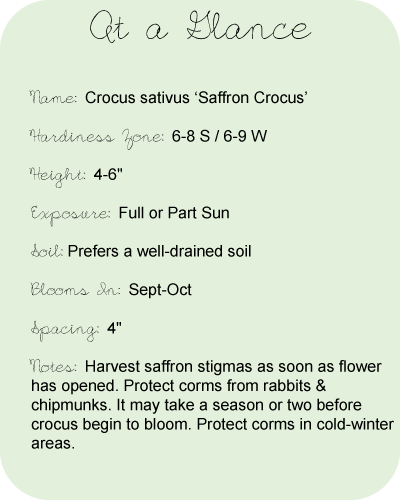 Saffron-crocus-at-a-glance[1].full